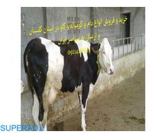 خرید و فروش انواع گوساله های سمنتال