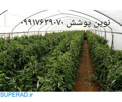 فروش نهال گیاه وتیور