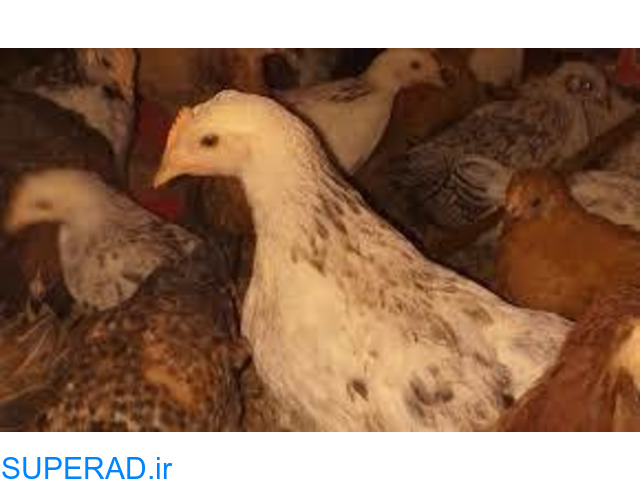 فروش جوجه و مرغ محلی و بومی