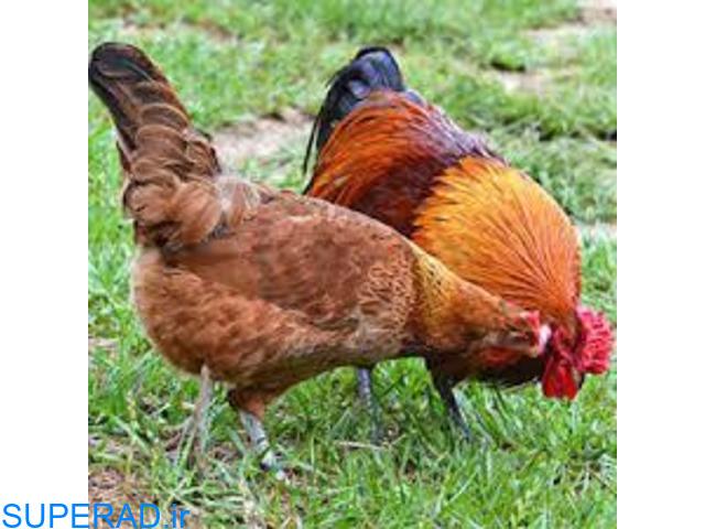 فروش مرغ و خروس تخم گذار بومی و رسمی اصلاح نژادشده