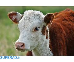 مرکز فروش انواع گوساله به قیمت مناسب با ارسال به سراسر کشور