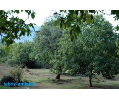 فروش باغ های 500 و 1000 متری گردو در صوفیان