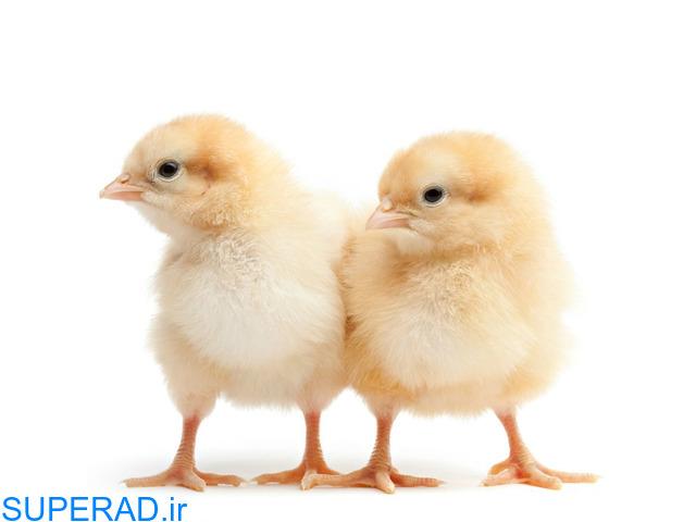 فروش مرغ بومی یکروزه