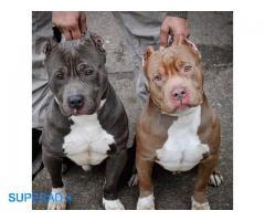 فروش سگ پیتبول نر مولد با اصالت
