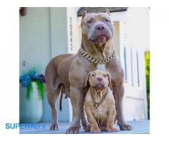 فروش سگ پیتبول ماده مولد با اصالت