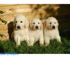 فروش سگ گلدن رتریور اصیل ، قیمت توله گلدن